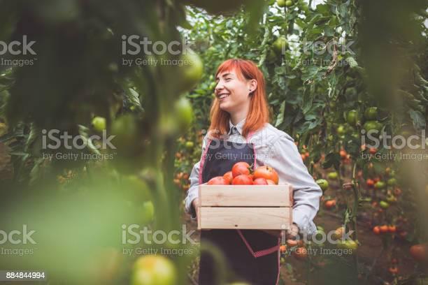 Gelukkige Vrouw Picking Rijpe Tomaten Stockfoto en meer beelden van Actieve levenswijze