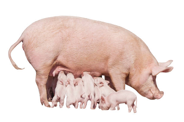 happy yellow earth pig isolated on white background. sow and piglets. symbol of the chinese new year. little piglets eat milk from mom. mother pig feed children. cute animals. - scrofa foto e immagini stock