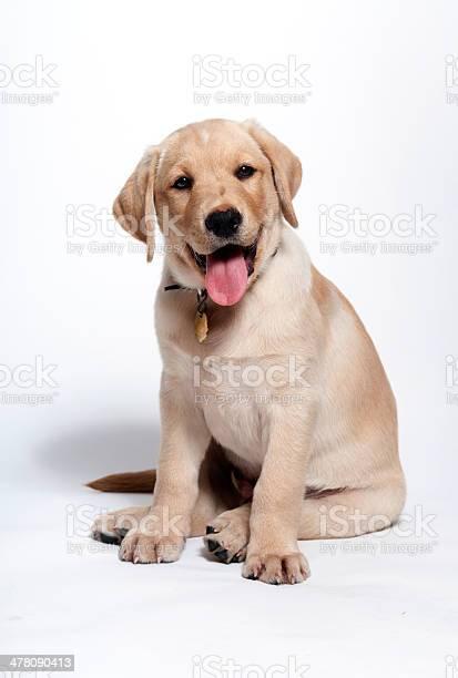 Happy yellow lab puppy picture id478090413?b=1&k=6&m=478090413&s=612x612&h=ikybx0r8ag07ye0zhum0nkfni3dufvfypjjw0hwvbwc=