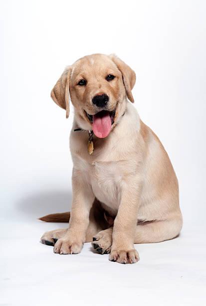 Happy yellow lab puppy picture id478090413?b=1&k=6&m=478090413&s=612x612&w=0&h=bcbctsw5q81lnmvvf9n0kbw3qfqzlwcwv4umjynwalw=