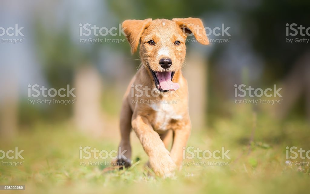 Happy yellow puppy running outdoor foto royalty-free