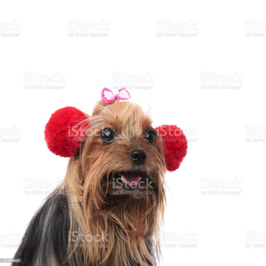 Fotografía de Feliz Yorkshire Terrier Hembra Con Orejeras De Piel ...