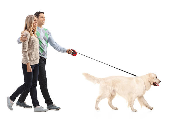 Happy young couple walking a dog Full length portrait of a happy young couple walking a dog isolated on white background retriever stock pictures, royalty-free photos & images