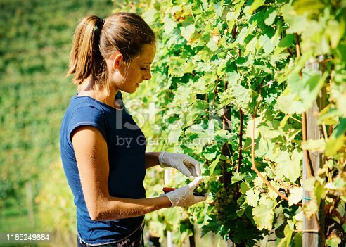 Happy young girl cutting grapes at vineyard in summer. Woman working at Wine farm. Person farmer at rural landscape. Worker at Field winery and harvest