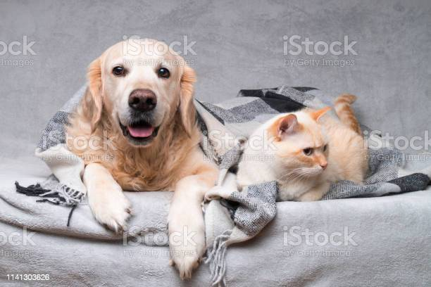 Happy young golden retriever dog and cute mixed breed ginger cat picture id1141303626?b=1&k=6&m=1141303626&s=612x612&h=war5qhpmubbw8 w4yd6aamf3svsdpxtede69qcfjkgw=
