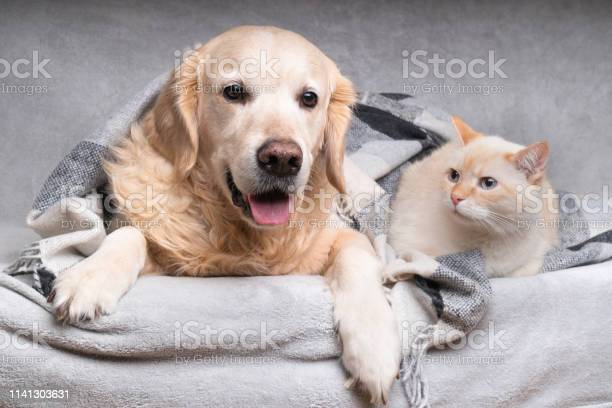 Happy young golden retriever dog and cute mixed breed ginger cat picture id1141303631?b=1&k=6&m=1141303631&s=612x612&h=ptnfjh9ldjauxgjf6yzunoiumclibu tumq7pbyobhg=