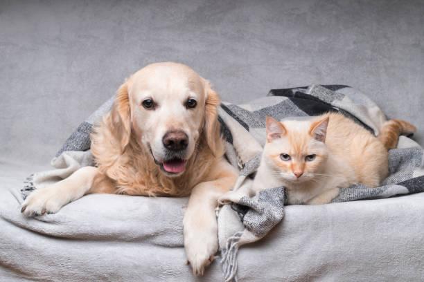 Happy young golden retriever dog and cute mixed breed ginger cat picture id1141303633?b=1&k=6&m=1141303633&s=612x612&w=0&h=m ziomqpmbczeohr1n 4b8qlkc56oa4gmo1rdztbo0k=