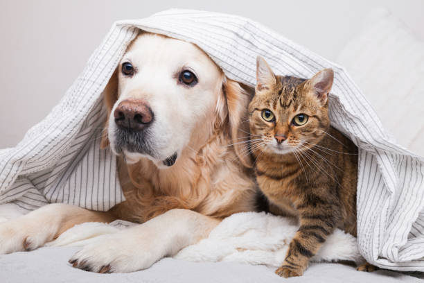 happy young golden retriever dog and cute mixed breed tabby cat under cozy  plaid. animals warms under gray and white blanket in cold winter weather. friendship of pets. pets care concept. - cat стоковые фото и изображения