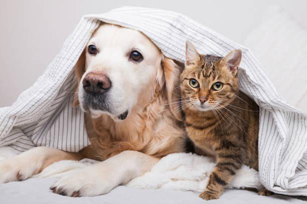 아늑한 격자 무늬에서 행복 한 젊은 골든 리트리버 개와 귀여운 혼합 품종 태비 고양이. 추운 겨울 날씨에 회색과 흰색 담요 아래에서 동물을 따뜻하게 합니다. 애완 동물의 우정. 애완 동물 케� - cat 뉴스 사진 이미지