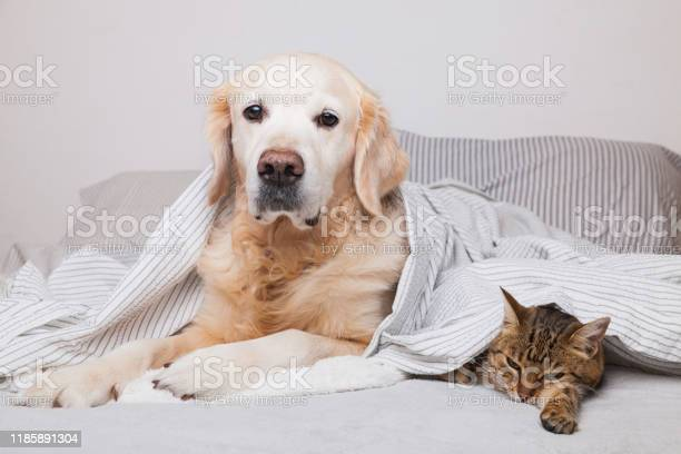 Happy young golden retriever dog and cute mixed breed tabby cat under picture id1185891304?b=1&k=6&m=1185891304&s=612x612&h=olqy26xfihil6vrdf1qhtszzmsnpajynsgkx2n4t3ye=