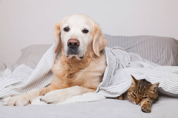 Happy young golden retriever dog and cute mixed breed tabby cat under picture id1185891304?b=1&k=6&m=1185891304&s=612x612&w=0&h= gc2n mebbvha1steccqhi12fjcfuyf4pfhdxhvbiey=