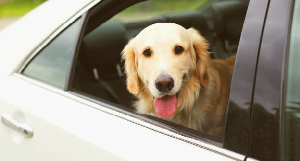 Happy young Golden Retriever dog sitting in car looking out the window stock photo