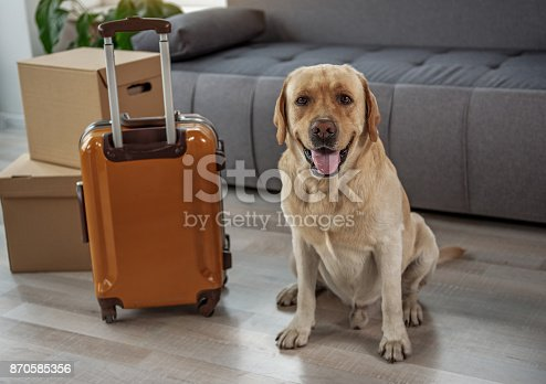 istock Happy young labrador situating near big luggage 870585356