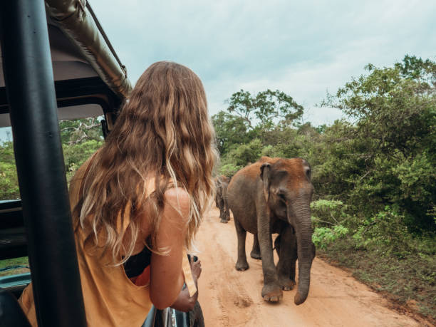 Happy young woman on luxury safari looking at will elephant walking in the jungle Happy young woman on luxury safari looking at will elephants walking nearby. Girl in moving vehicle 4x4 looking for wildlife in national park yala stock pictures, royalty-free photos & images