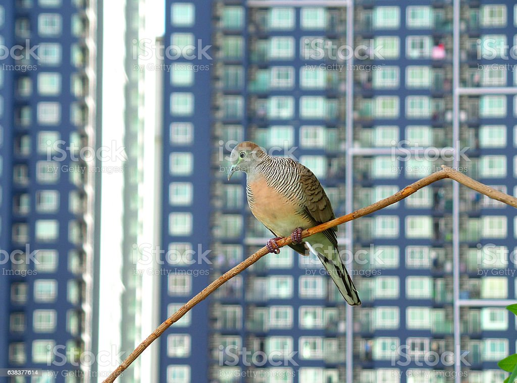 Happy Zebra Doves Relaxing on Tree Branch amongst High Buildings stock photo