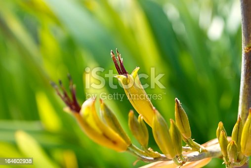 The flower of the Harakeke (New Zealand Flax) against a background of soft focus Flax leaves. This Flax is known as Wharariki or Mountain Flax.