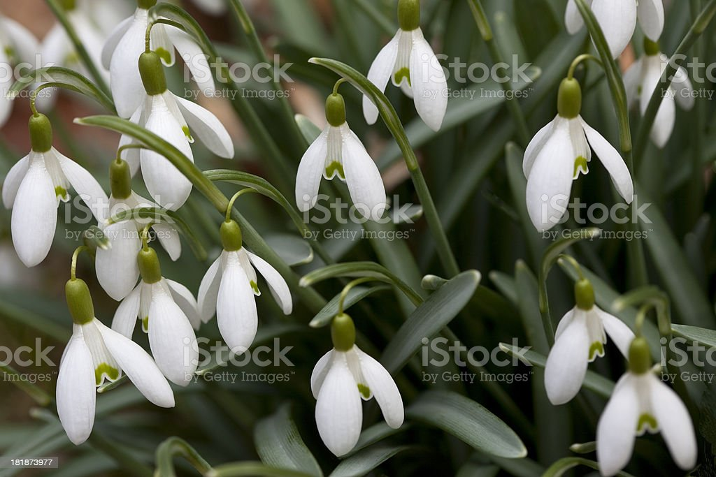 Harbinger Snowdrops royalty-free stock photo