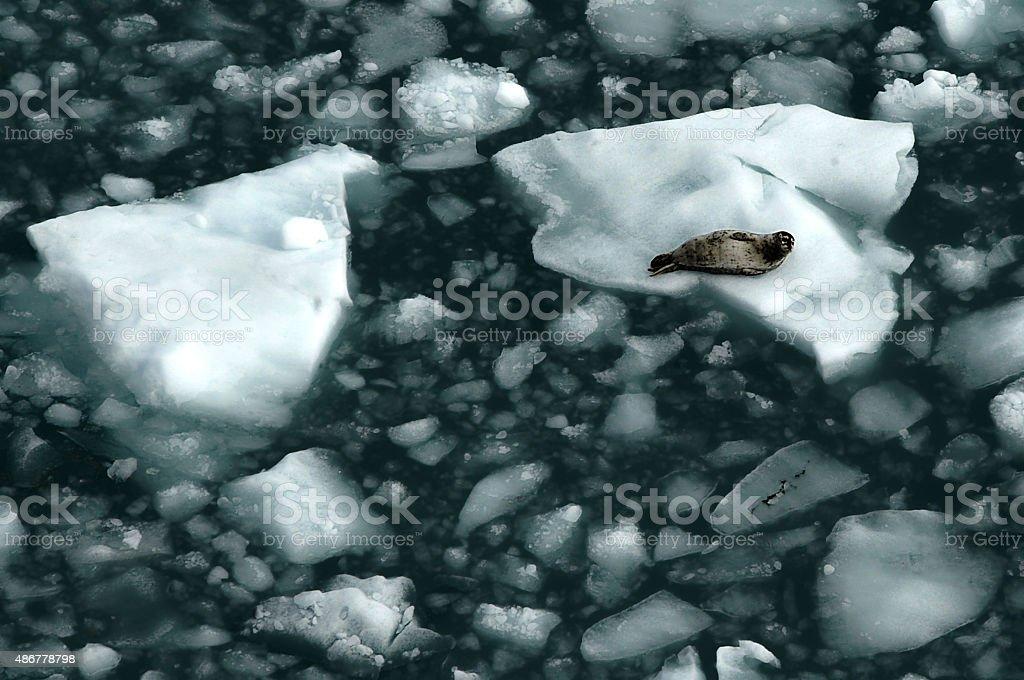 Harbor Seal, Alaska - US State, stock photo