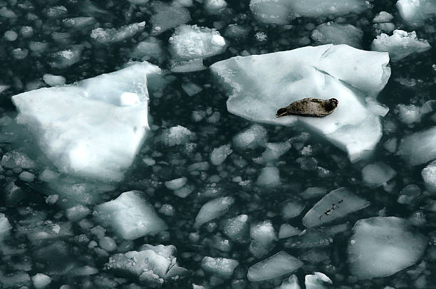 Harbor Seal, Alaska - US State, seal resting on the iceberg, Seal - Animal, Animal, Mammal, Animal Wildlife, Beach, Harbor Seal, Tranquil Scene, Glacier, Ice Floe, Alaska - US State, ice floe stock pictures, royalty-free photos & images