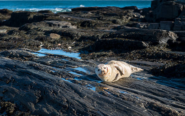 Harbor Seal at Dyer Point Maine stock photo