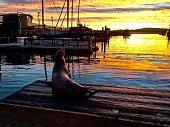 Navy pier Monterey bay harbor seal at sunrise
