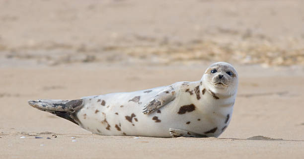Harbor Seal Basking on Sandy Beach