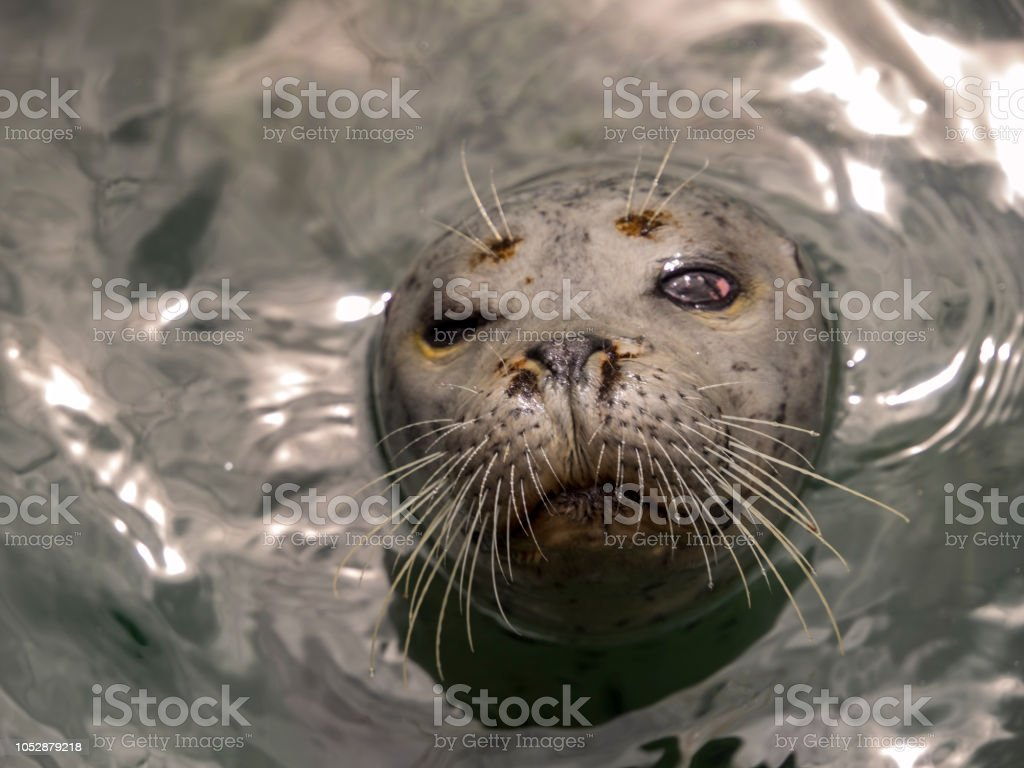 Harbor Seal Face stock photo