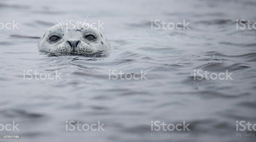 Harbor Seal in Half Moon Bay, California stock photo