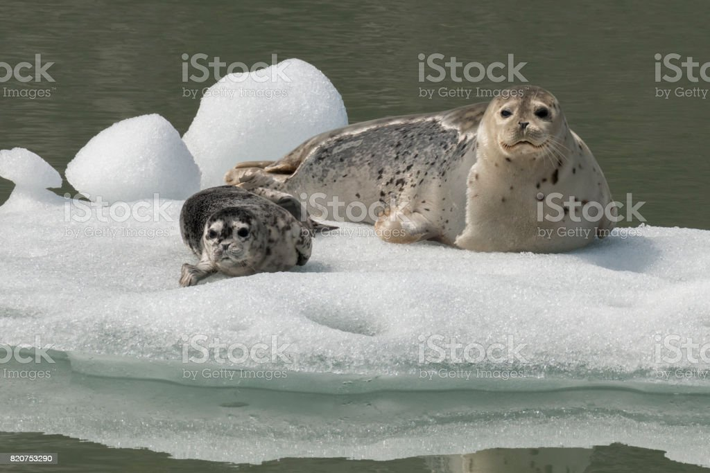 Harbor seal mother and pup stock photo