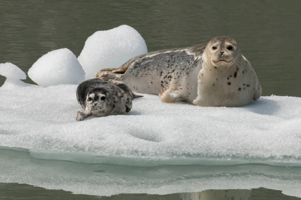 Harbor seal mother and pup Harbor seal mom and pup hauled out on the ice of Tracy Arm, Alaska. seal pup stock pictures, royalty-free photos & images