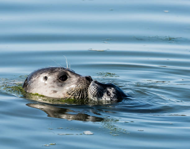 harbor seal mother kissing pup - dally stock pictures, royalty-free photos & images