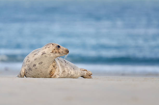 Harbor seal am Strand – Foto