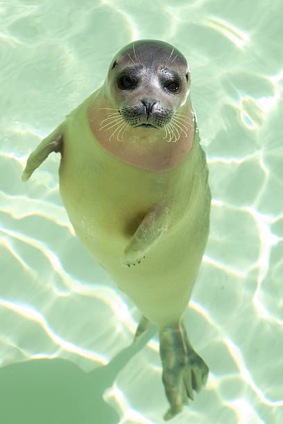 Harbor seal Harbor seal seal pup stock pictures, royalty-free photos & images