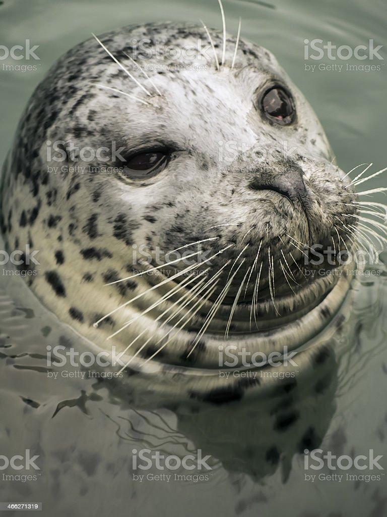 Harbor Seal (Phoca vitulina) royalty-free stock photo