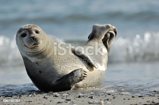 Harbor seal (Phoca vitulina)at the beach in Helgoland