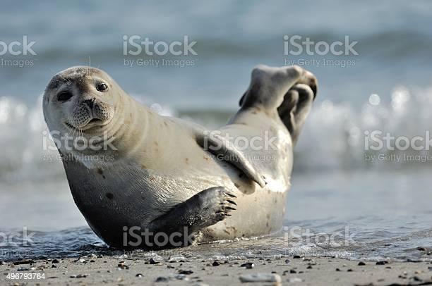 Harbor seal picture id496793764?b=1&k=6&m=496793764&s=612x612&h=pqfv saqfwwnh8igbcnhctydo74dgo9sgs9u6ciscs4=