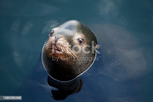 A cute harbour seal poking its head out of the water at a marina in British Columbia, Canada. Wildlife conservation theme.