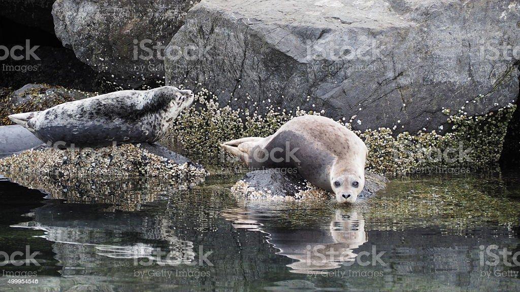 Harbor Seals, Elliott Bay stock photo