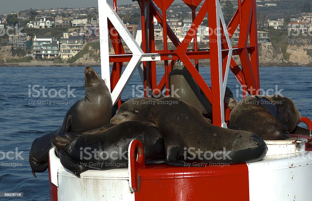 Harbor Seals hanging around royalty-free stock photo