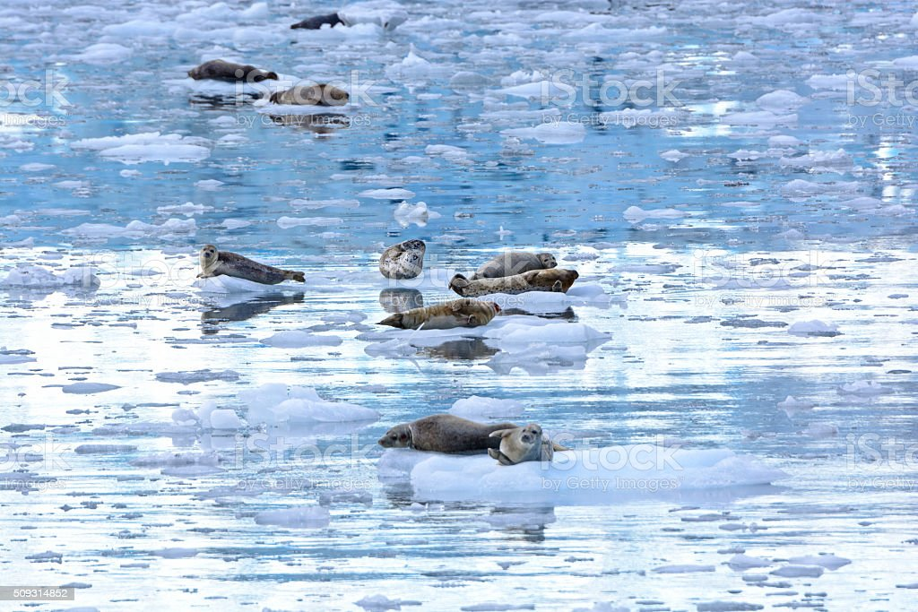 Harbor Seals in an Icy Bay stock photo