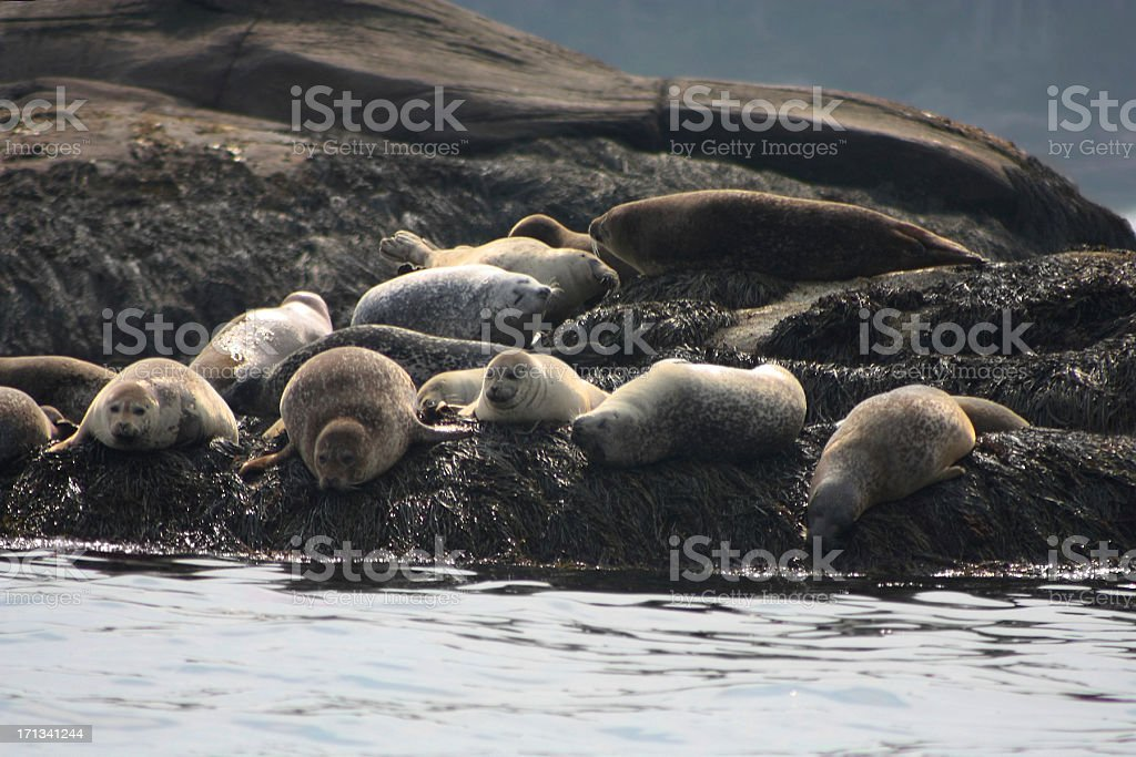 Harbor Seals in Boothbay Maine stock photo