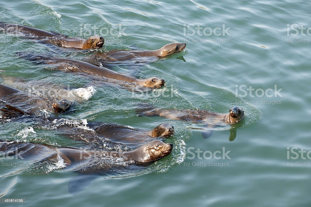 Harbor Seals - Leading the Pack stock photo