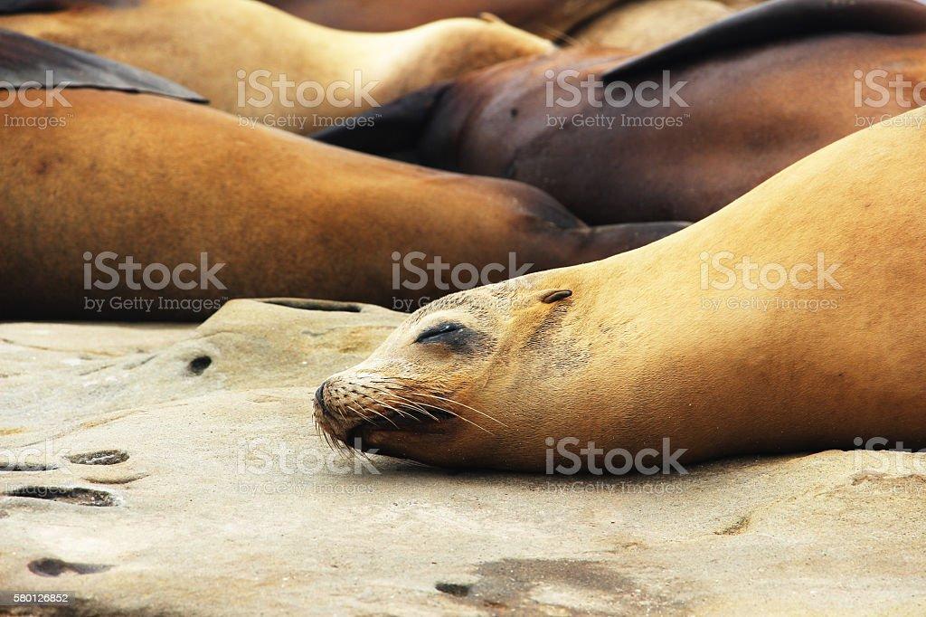 Harbor Seals stock photo