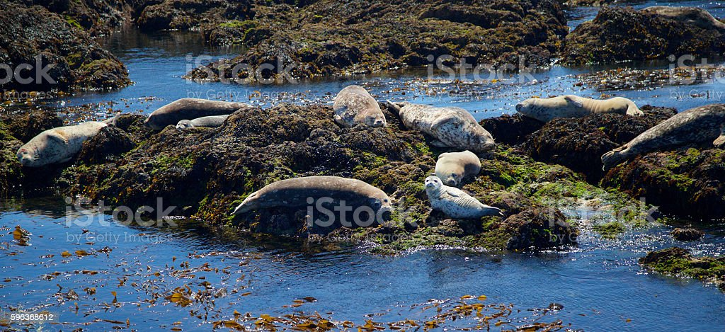 Harbor Seals stock photo