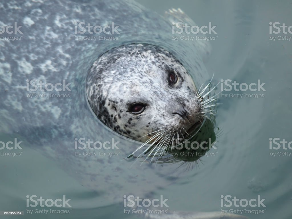 Harbor seals playing in the water stock photo