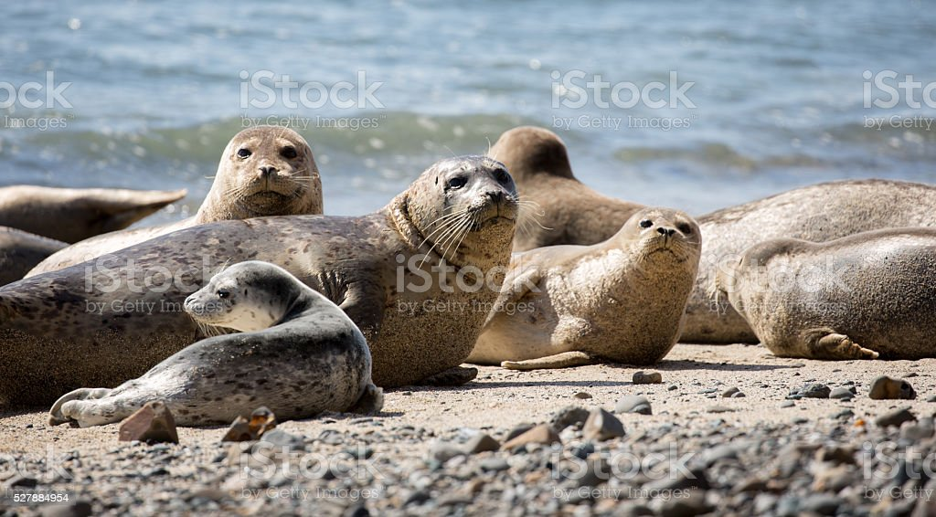 Harbor Seals posing in the pacific coast beaches. stock photo