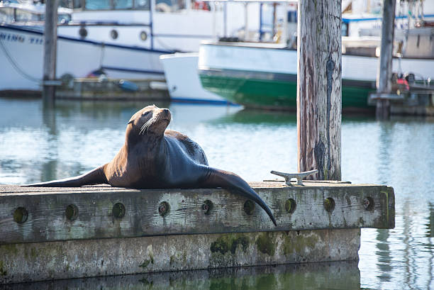 Harbour seal laying on a pier stock photo