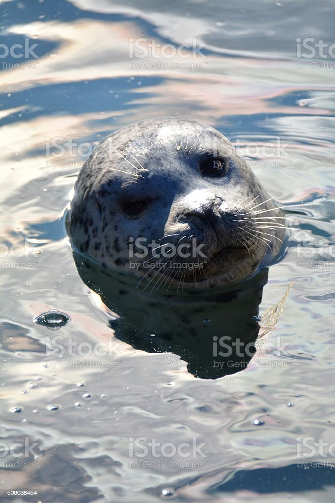 Harbour Seal stock photo