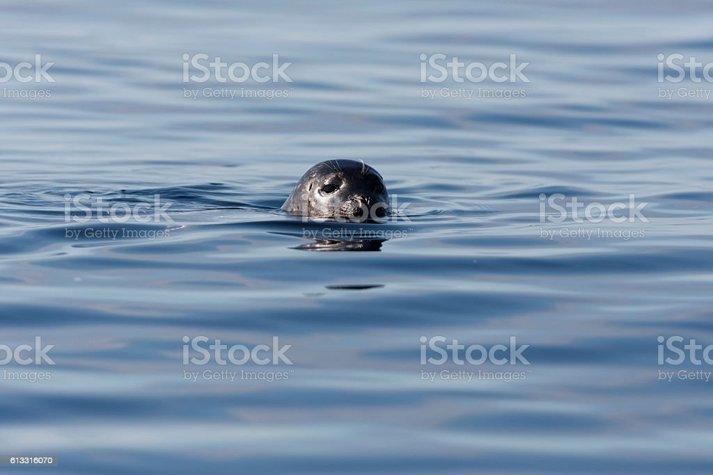 Harbour seal swimming, looking into camera stock photo