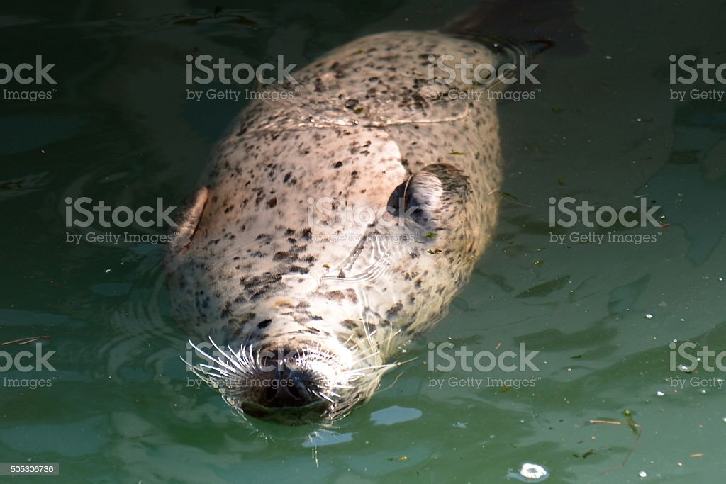Harbour Seals royalty-free stock photo
